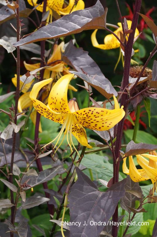 Some species and hybrid lilies produce dark spotting on their petals, which is easy to echo with equally dark foliage, as in this partnership of Lilium leichtlinii and red orach (Atriplex hortensis var. rubra); Nancy J. Ondra at Hayefield