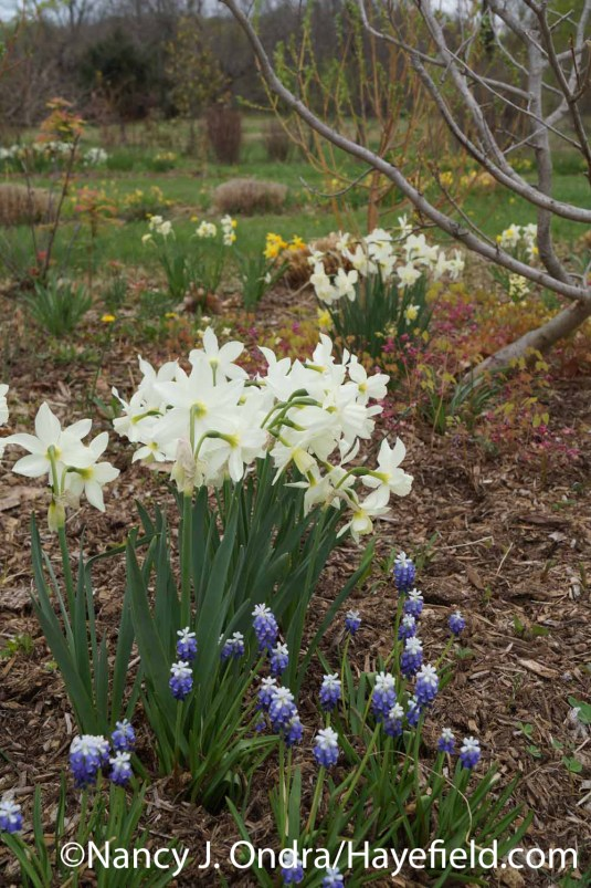 Not a perfect match, perhaps, but from a distance, the near-white tip blooms of 'Ocean Magic' grape hyacinth (Muscari aucheri) make a pretty good echo for the pure white flowers of 'Thalia' daffodil (Narcissus); Nancy J. Ondra at Hayefield