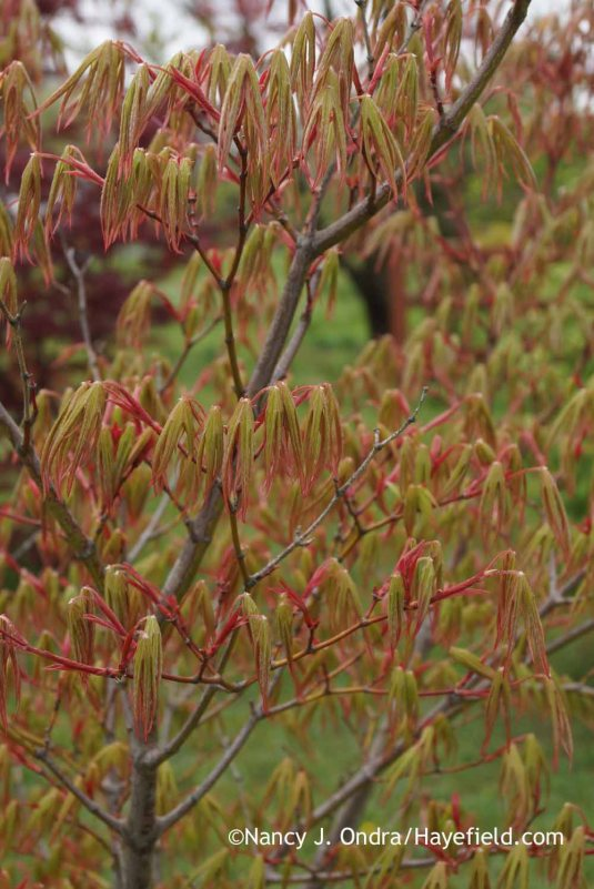 Just a no-name Japanese maple (Acer palmatum) seedling, but it sure is pretty right now [Nancy J. Ondra at Hayefield]