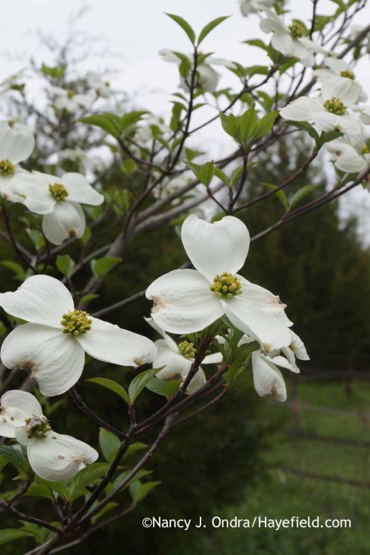 After that daunting greeting, the meadow path reveals much prettier sights, such as this self-sown flowering dogwood (Cornus florida). [Nancy J. Ondra at Hayefield]