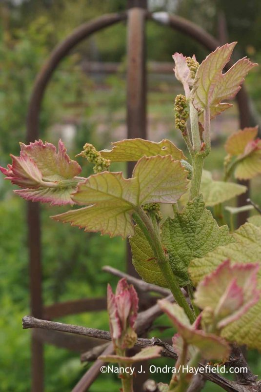 The new leafy growth and flower buds of 'Concord' fox grape (Vitis labrusca) [Nancy J. Ondra at Hayefield]