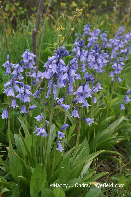 Spanish bluebells (Hyacinthoides hispanica) [Nancy J. Ondra at Hayefield]