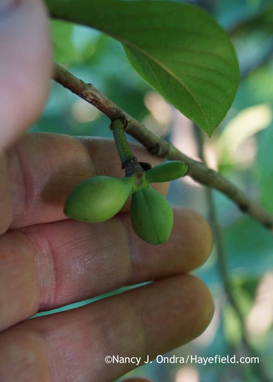 Last month's pollination attempt was a success: Looks like I may get the first harvest from my pawpaws (Asimina triloba) this year! [Nancy J. Ondra at Hayefield]