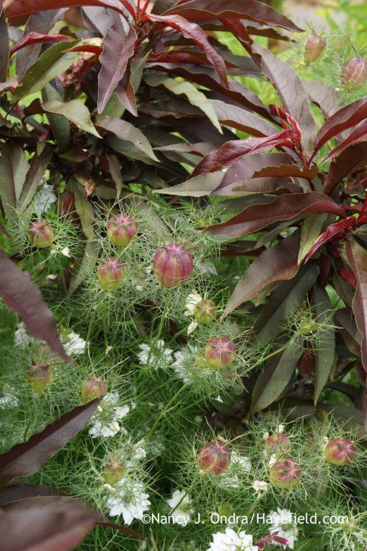 A dark-leaved peach (Prunus persica) seedling with the seedpods of 'Cramers' Plum' love-in-a-mist (Nigella damascena) [Nancy J. Ondra at Hayefield]