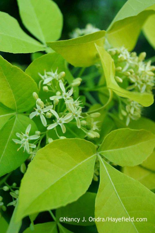 Golden hoptree (Ptelea trifoliata 'Aurea') [Nancy J. Ondra at Hayefield]