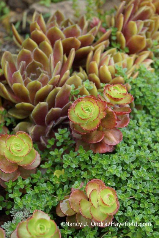 'Elizabeth' two-row sedum (Sedum spurium) with creeping thyme (Thymus praecox) and hens-and-chicks (Sempervivum tectorum) [Nancy J. Ondra at Hayefield]