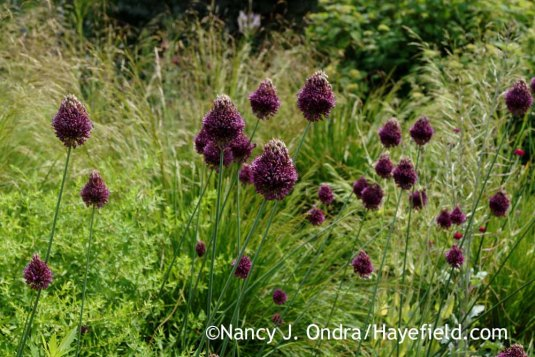 Drumstick allium (Allium sphaerocephalon) [Nancy J. Ondra at Hayefield]