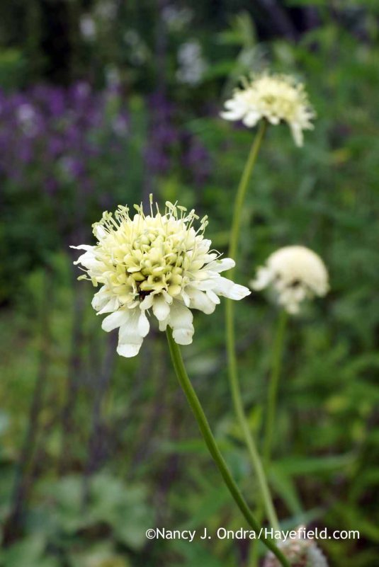 It's challenging to get a good photograph of giant scabious (Cephalaria gigantea), partly because the flowers are held far apart and partly because they are usually buzzing with bees. [nancy J. Ondra at Hayefield]