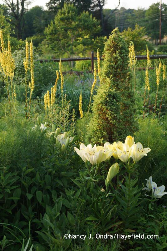 'Freya' LA Hybrid lily (Lilium) with 'Gold Cone' juniper (Juniperus communis) and black mullein (Verbascum nigrum) [Nancy J. Ondra at Hayefield]