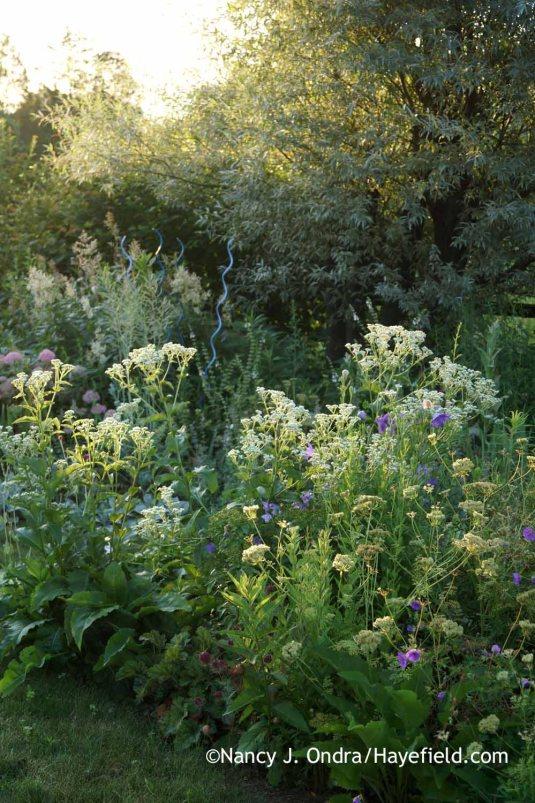 Wild quinine (Parthenium integrifolium) and silver willow (Salix alba var. sericea) in the side garden [Nancy J. Ondra at Hayefield]