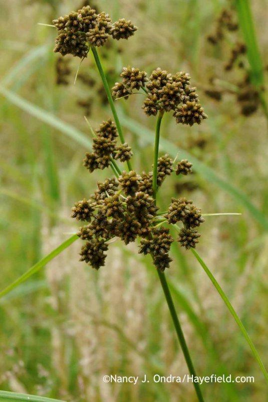 Green bulrush (Scirpus atrovirens) [Nancy J. Ondra at Hayefield]