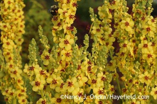Black mullein (Verbascum nigrum) [Nancy J. Ondra at Hayefield]