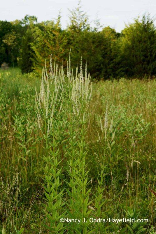 Culver's root (Veronicastrum virginicum) [Nancy J. Ondra at Hayefield]