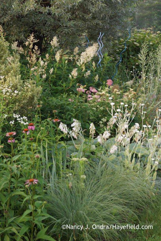 Giant fleeceflower (Persicaria polymorpha), white rose campion (Lychnis coronaria 'Alba'), Hosta sieboldiana 'Elegans', purple coneflower (Echinacea purpurea), and prairie dropseed (Sporobolus heterolepis) in the side garden [Nancy J. Ondra at Hayefield]