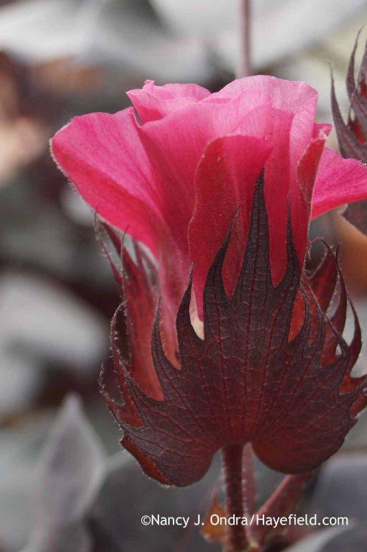 Black-leaved cotton (Gossypium herbaceum 'Nigrum') finished bloom [Nancy J. Ondra at Hayefield]