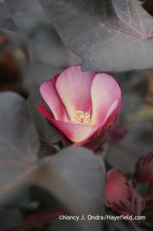 Black-leaved cotton (Gossypium herbaceum 'Nigrum') bloom [Nancy J. Ondra at Hayefield]