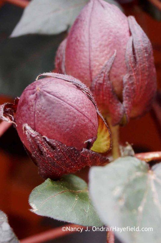 Black-leaved cotton (Gossypium herbaceum 'Nigrum') seedpods [Nancy J. Ondra at Hayefield]