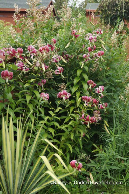 'Black Beauty' Orienpet lily (Lilium) with giant fleeceflower (Persicaria polymorpha) and 'Color Guard' Adam's needle (Yucca filamentosa) [Nancy J. Ondra at Hayefield]