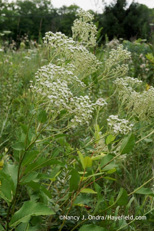 The wild quinine (Parthenium integrifolium) is equally happy in the garden and out here in the meadow. [Nancy J. Ondra at Hayefield]