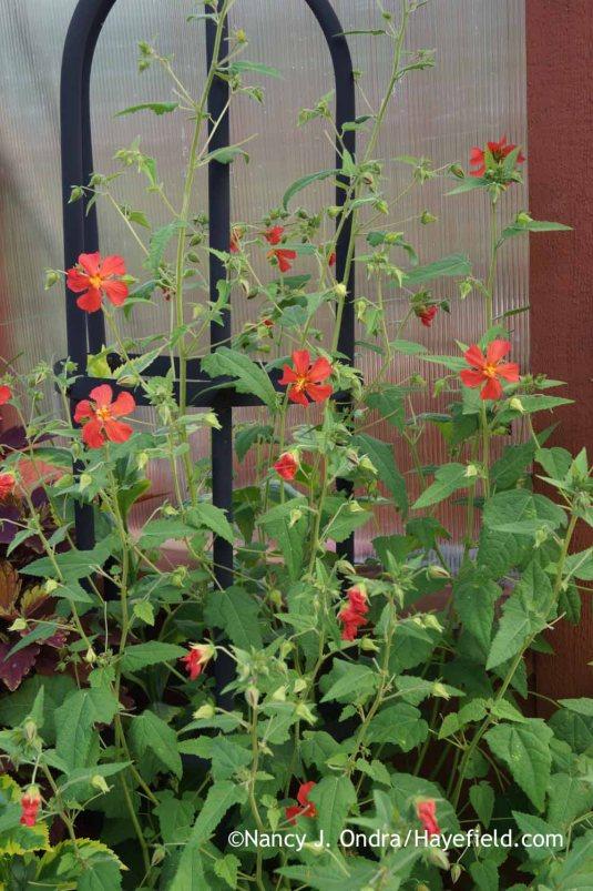 Red mallow (Pavonia missionum) [Nancy J. Ondra at Hayefield]