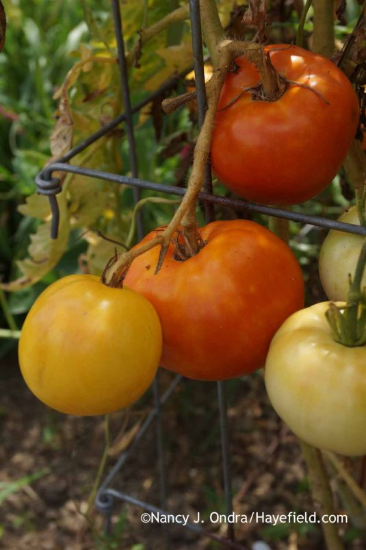 The fruits of 'Livingston's Honor Bright' ('Lutescent') tomato its the most striking feature: They start creamy white, then turn yellow before maturing to orangey red. [Nancy J. Ondra at Hayefield]