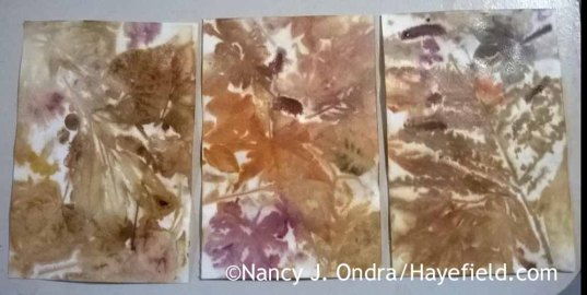 Eco printing on watercolor paper [Nancy J. Ondra at Hayefield]