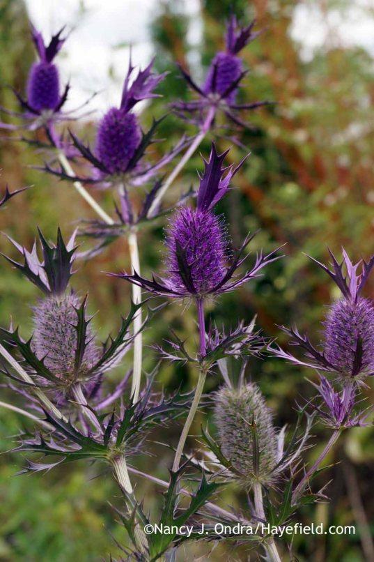 Eryngium leavenworthii [Nancy J. Ondra at Hayefield]