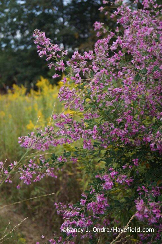 'Gibraltar' bush clover (Lespedeza thunbergii) [Nancy J. Ondra at Hayefield]
