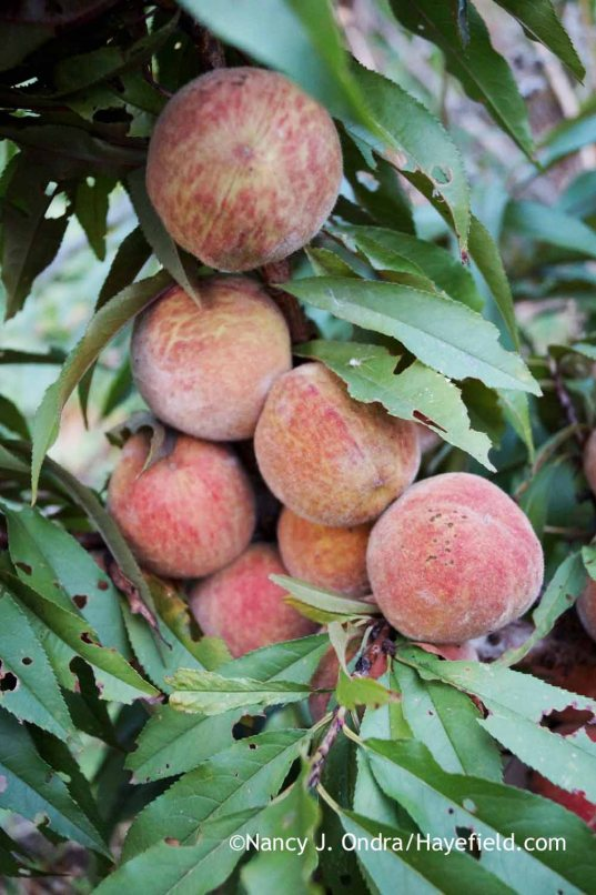 The fruits of a seedling purple-leaved peach (Prunus persica) [Nancy J. Ondra at Hayefield]