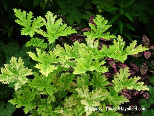 'Charity' scented geranium (Pelargonium) [Nancy J. Ondra/Hayefield.com]