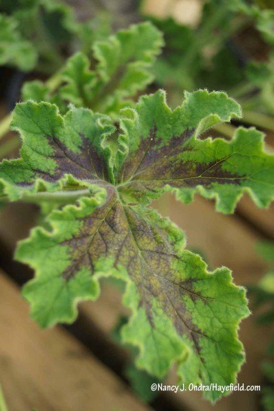 'Chocolate Mint' scented geranium (Pelargonium) [Nancy J. Ondra/Hayefield.com]