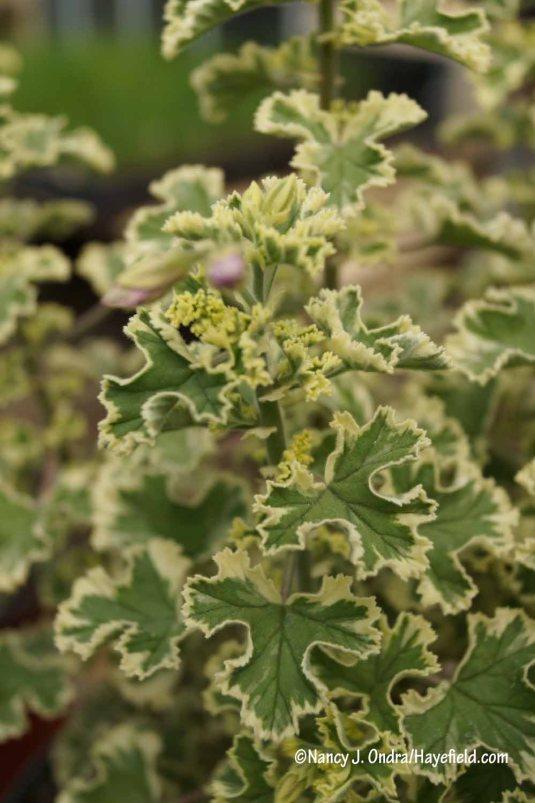'Variegated Prince Rupert' lemon geranium (Pelargonium crispum) [Nancy J. Ondra/Hayefield.com]