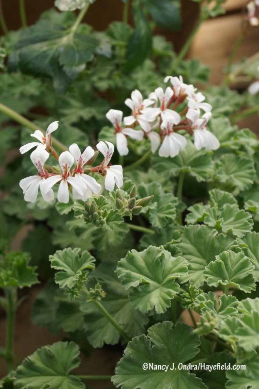 Nutmeg geranium (Pelargonium fragrans) [Nancy J. Ondra/Hayefield.com]