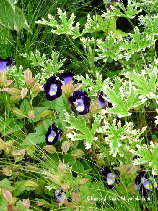 'Frosty' scented geranium (Pelargonium) with wishbone flower (Torenia) and Mexican feather grass (Stipa tenuissima) [Nancy J. Ondra/Hayefield.com]