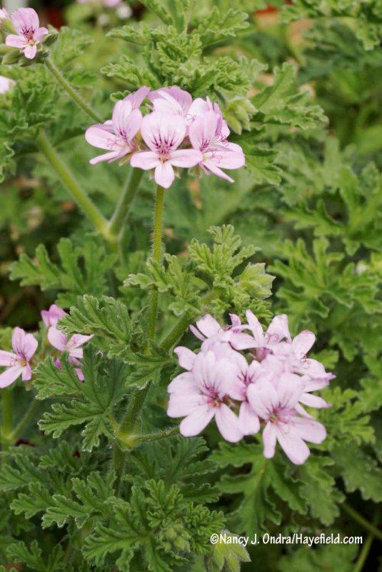 Rose geranium (Pelargonium graveolens) [Nancy J. Ondra/Hayefield.com]