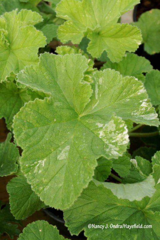 'Snowflake' scented geranium (Pelargonium) [Nancy J. Ondra/Hayefield.com]