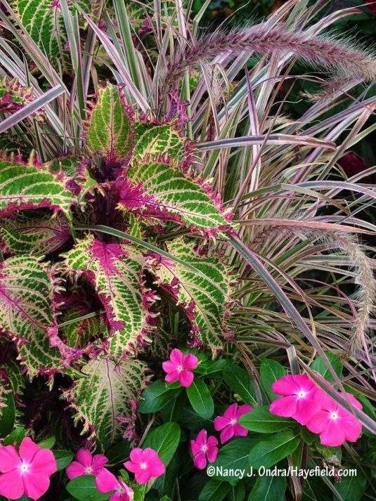 This container combination is pretty wild, but I think it works: 'Pink Ruffles' coleus and 'Cherry Sparkler' fountain grass (Pennisetum setaceum) with 'Titan Rose' rose periwinkle (Catharanthus roseus). [Nancy J. Ondra/Hayefield.com]