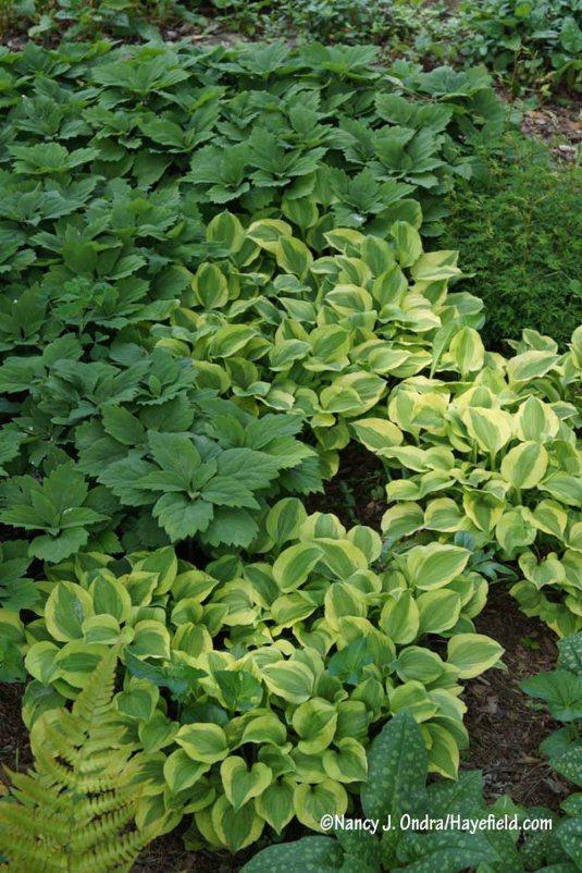 'Golden Tiara' hosta with Allegheny pachysandra (Pachysandra procumbens) [Nancy J. Ondra/Hayefield.com]