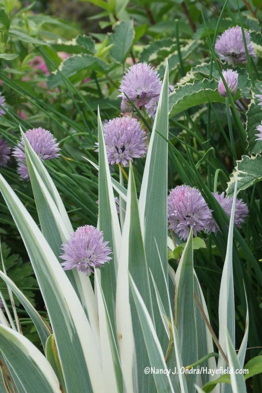 Common chives (Allium schoenoprasum) with white-variegated sweet iris (Iris pallida 'Argentea Variegata') [Nancy J. Ondra/Hayefield.com]