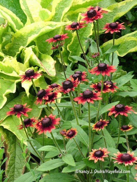 'Cherry Brandy' Gloriosa daisy (Rudbeckia hirta) against 'Axminster Gold' Russian comfrey (Symphytum x uplandicum) [Nancy J. Ondra/Hayefield.com]