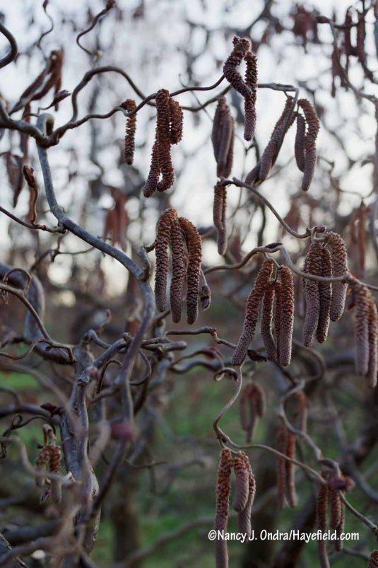 'Red Majestic' contorted hazel (Corylus avellana) [Nancy J. Ondra/Hayefield.com]
