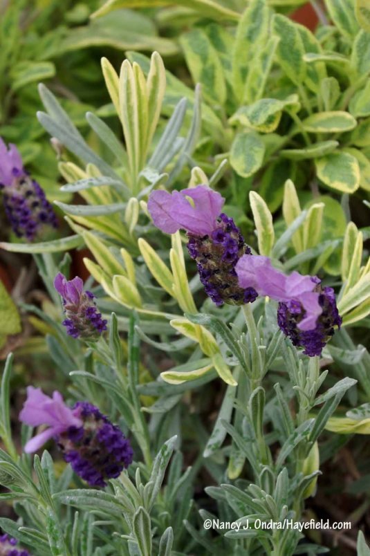 'Anouk Supreme' Spanish lavender (Lavandula stoechas) with Platinum Blonde lavender (L. angustifolia 'Momparler') and 'Icterina' culinary sage (Salvia officinalis) [Nancy J. Ondra/Hayefield.com]