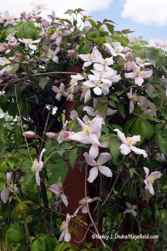 Clematis montana var. rubens [Nancy J. Ondra/Hayefield.com]