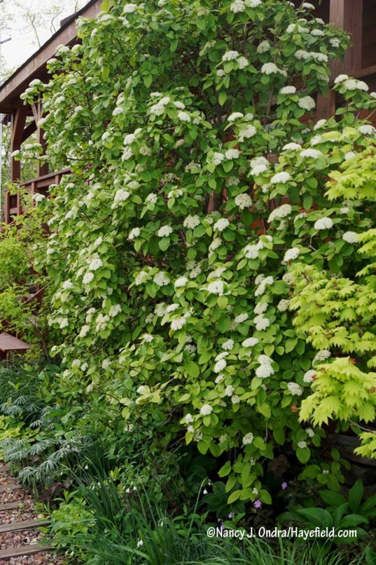 Golden wayfaringtree (Viburnum lantana 'Aurea') [Nancy J. Ondra/Hayefield.com]