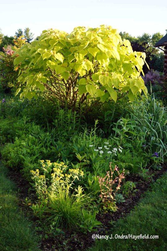 Golden catalpa (Catalpa bignonioides 'Aurea') [Nancy J. Ondra/Hayefield.com]