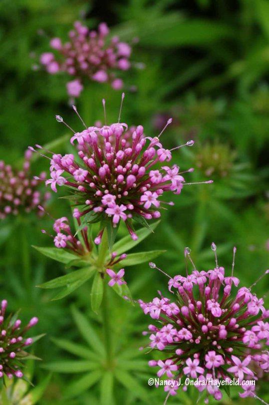 Caucasian crosswort (Phuopsis stylosa) [Nancy J. Ondra/Hayefield.com]