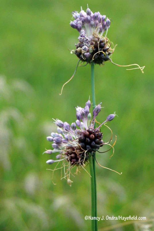 Wild garlic (Allium vineale) [Nancy J. Ondra/Hayefield.com]