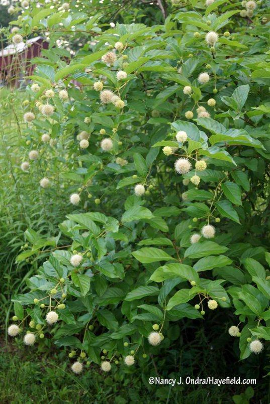 Common buttonbush (Cephalanthus occidentalis) [Nancy J. Ondra/Hayefield.com]