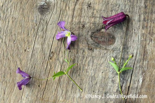 """Two more seed-grown clematis of uncertain ID. I just call them """"viticella types."""" The flowers are small but abundant. [Nancy J. Ondra/Hayefield.com]"""