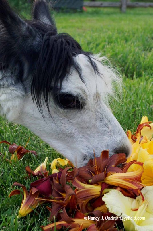 Duncan the alpaca snacking on daylilies [Nancy J. Ondra/Hayefield.com]